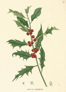 ivy (ilex aquifolium)