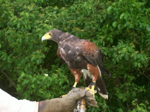 Artemis, a Harris hawk