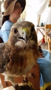 Cinnamon, a Red Tailed Hawk with Mistress Aife ingen Chonchoabir