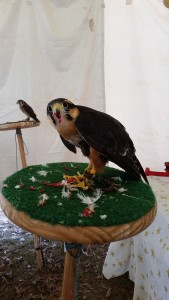 Lady, an Apolmado Falcon, feeding.