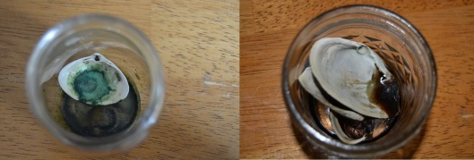 Plain iris juice in a clam shell on the right; iris juice with a pinch of alum in a clam shell on the left.
