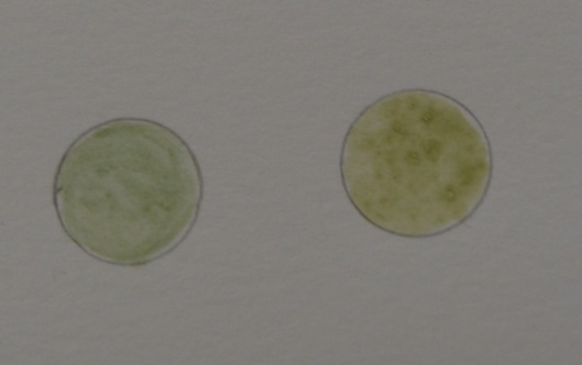 Pigment from fresh iris juice and aluminum sulfate clothlet on the left; pigment from fermented iris juice and aluminum sulfate clothlet on the right.