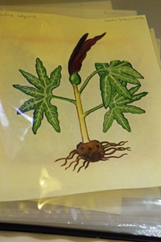 An illustration of a plant, part of Lady Raziya's entry researching medieval plants