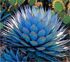 Blue agave plant. Photo courtesy of tothewind.tumblr.com