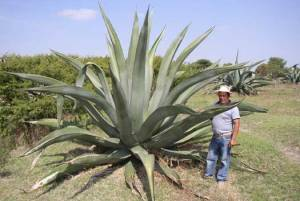The Maguey Plant, Agave atrovirens. Photo by the Rodale Institute.